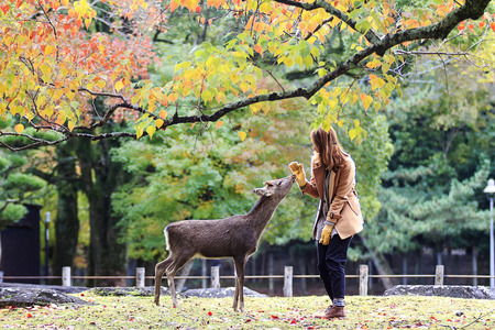 asia deer: Nara, Japan - November 21, 2013  Visitors feed wild deer on November 21, 2013 in Nara, Japan  Nara is a major tourism destination in Japan