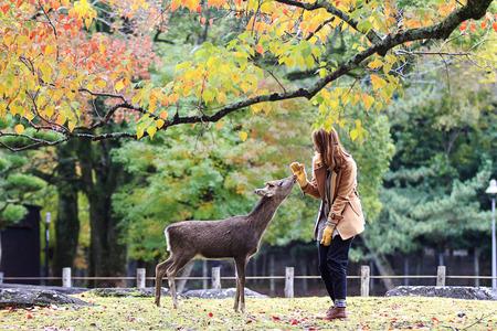 Nara, Japan - November 21, 2013  Visitors feed wild deer on November 21, 2013 in Nara, Japan  Nara is a major tourism destination in Japan