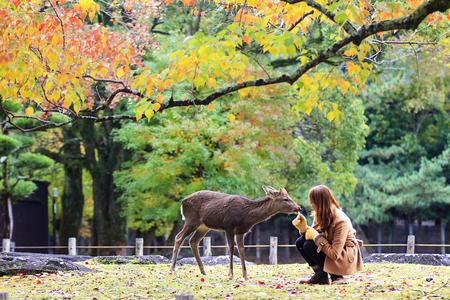 nara park: Visitors feed wild deer in Japan  Stock Photo