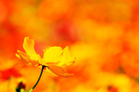 oxeye: Nice daisy with nice background color Stock Photo