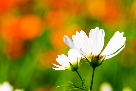 Nice daisy with nice background color Stock Photo