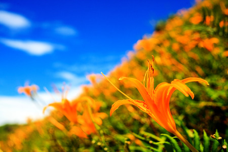 Daylily flower at sixty stone mountain, Taiwan Archivio Fotografico