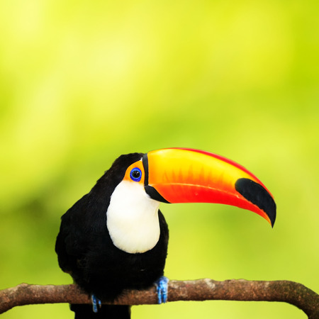 Colorful tucan in the aviary for adv or others purpose use photo