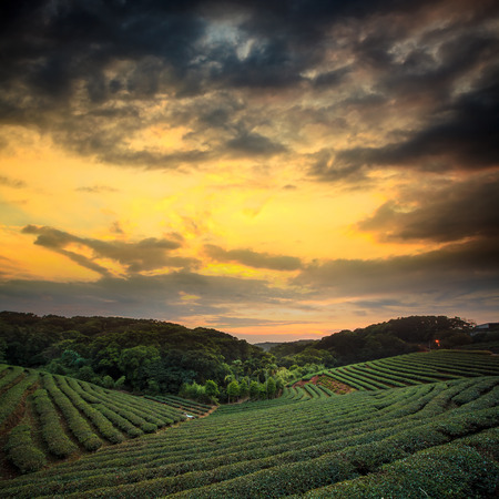 tea plantation landscape sunset for adv or others purpose use