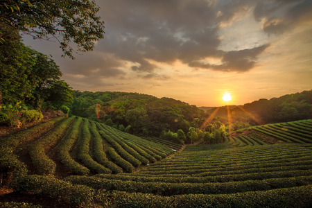 red tea: Tea plantation valley at dramatic pink sunset sky in Taiwan Stock Photo