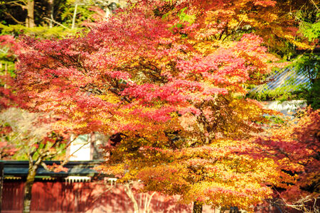 Kyoto, Jpana - November 20, 2013: Red leaves of the maple in autumn for adv or others purpose use photo