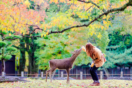 capita: NARA, JAPAN - Nov 21: Visitors feed wild deer on April 21, 2013 in Nara, Japan. Nara is a major tourism destination in Japan - former capita city and currently UNESCO World Heritage Site. Editorial