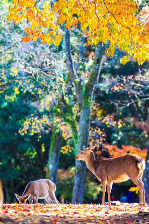 near: Deer near Todaiji temple in Nara, Japan for adv or others purpose use