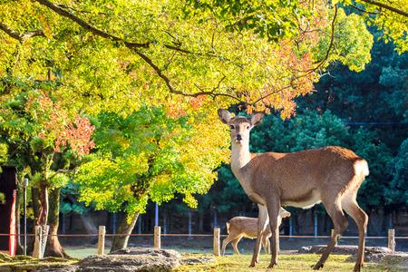 nara park: Nara deer roam free in Nara Park, Japan