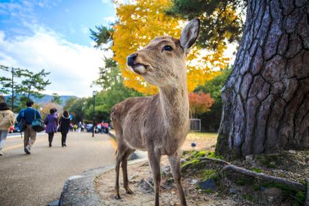 nara park: wild deer in Nara, Japan Stock Photo
