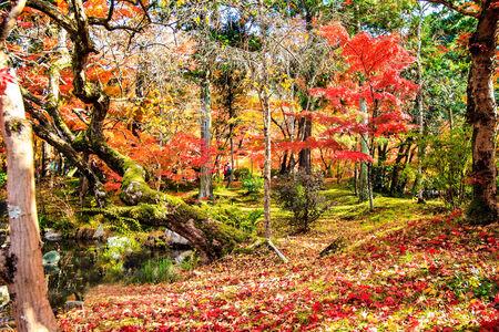 momiji: red japanese maple autumn fall , momiji tree in kyoto japan