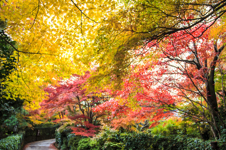 Red maple trees in a japanese garden  photo