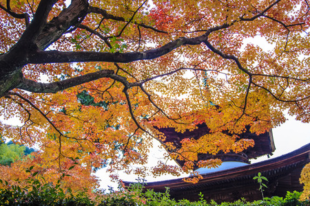 Kyoto, Japan - June 30, 2014: Red maple trees in a japanese garden photo