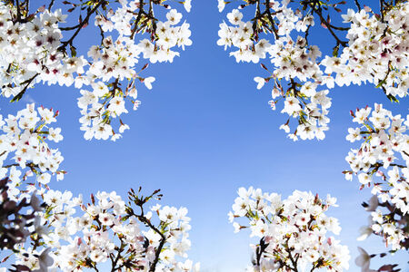 ninnaji: Sakura season, Kyoto, Japan for adv or others purpose use Stock Photo