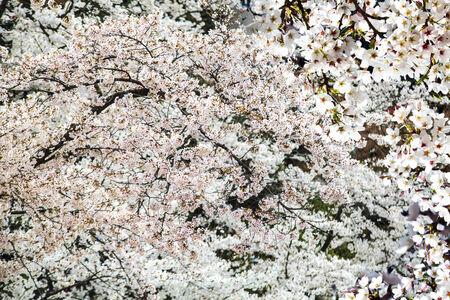 ninnaji: sakura season, Kyoto, Japan for adv or others purpose use