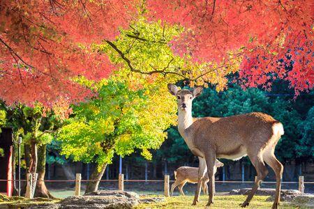Nara herten vrij rondlopen in Nara Park, Japan voor adv of anderen daartoe gebruik
