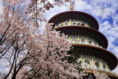 jiufen: Sakura, temple and blue sky for adv or others purpose use