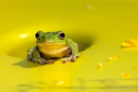 courting: Chirping tree frogs are courting in the forest,Taiwan for adv or others purpose