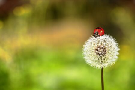 Ladybug and dandelion for adv or others purpose use photo