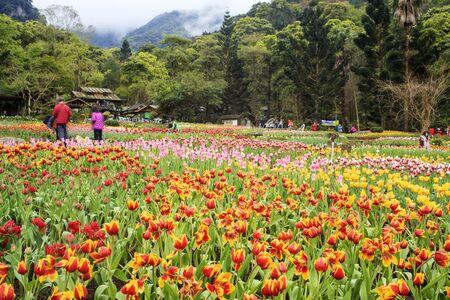tulip: tulip. Beautiful bouquet of tulips. colorful tulips. tulips in spring sun. tulip in the field Stock Photo