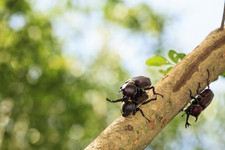 mandibles: Rhinoceros beetle, Rhino beetle, Hercules beetle, Unicorn beetle for adv or others purpose use