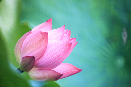 jardines con flores: La flor de loto y plantas de flor de loto