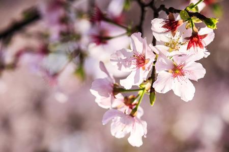 The Beautiful Sakura Garden in Taipei, Taiwan