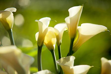 ramo de flores: lirios de agua de cerca Foto de archivo