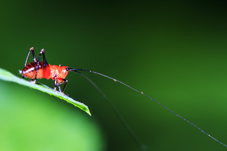 chorthippus: the small red Grasshopper stand on the leave