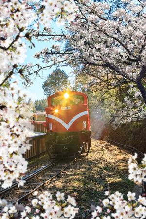 Alishan, Chiayi - March, 2013: National Park Alishan cherry blossom season, Tainan, Taiwan