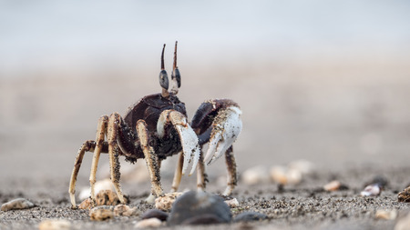 national parks: The Beach crab on the sand, new taipei city, Taiwan