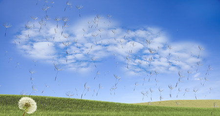 clear away: Dandelion with seeds blowing away in the wind across a clear sky