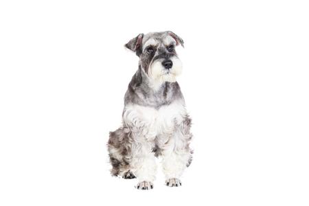 miniature breed: El Schnauzer miniatura aislado con el fondo blanco