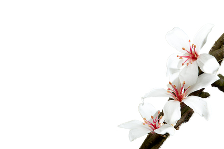 dring: The tung flower Blossom dring the spring season with nice color