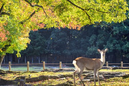 todaiji: The beatiful Nara season with nice colorful maple in the background
