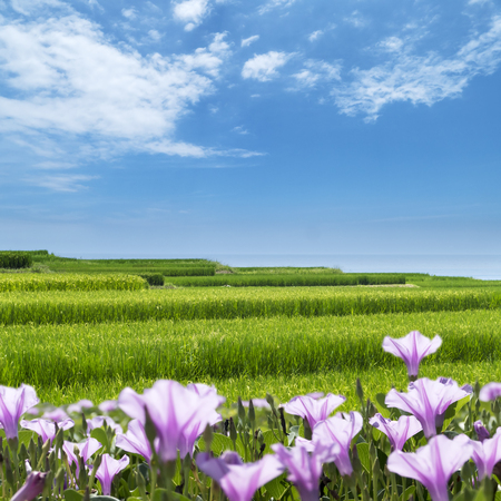 The beacutiful sunny day with sea, flower of paddy