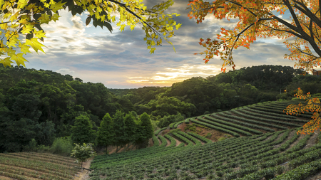The tea garden sunset in the summer time with nice background view