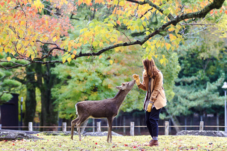 The deer of Nara at fall season, Nara Japan Stock Photo