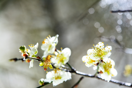 The beautiful plum blossom with nice background color