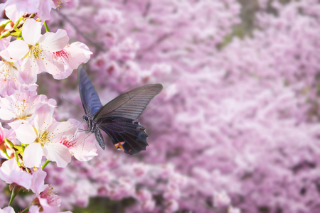 japanese garden: The realistic sakura cherry branch with blooming flowers with nice background color