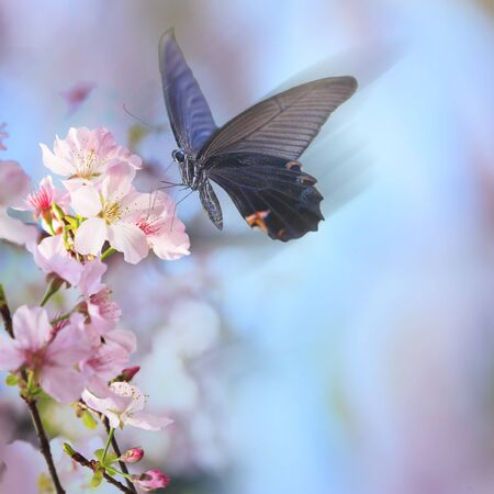 butterfly isolated: The realistic sakura cherry branch with blooming flowers with nice background color