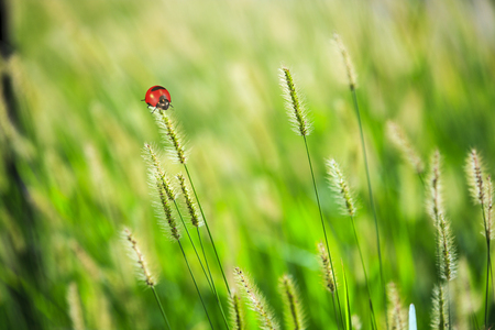 The beautiful ladybug on a reed plant with extra green empty space Stock Photo