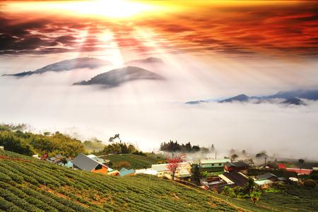The fresh organic tea bud & leaves plantation the famous Oolong tea area in Alishan mountain with blue sky and sun Taiwan