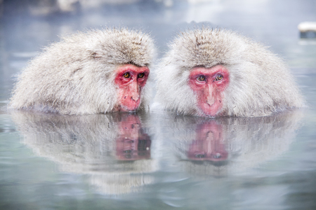 The Snow Monkey at the edge of the hot spring pool (Onsen) at Jigokudani Monkey Park in Nagano prefecture, Japan