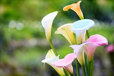 Die schönen bunten Calla-Lilien mit schöner Hintergrundfarbe