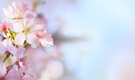 The Pink sakura petals flower background. Romantic blossom sakura flower petals