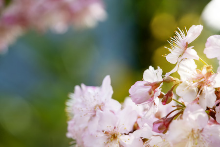 The Sakura Flower or Cherry Blossom With Beautiful Nature Background Imagens - 115662572