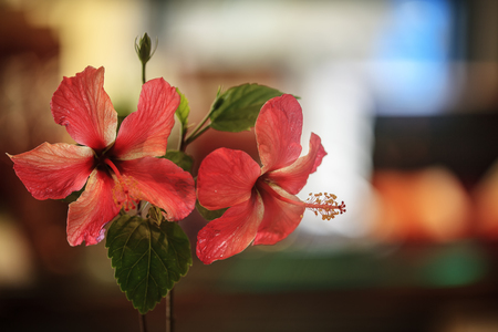 The close up of beautiful hibiscus with nice background color