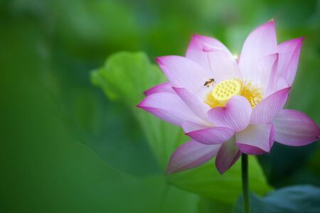 The Beauty pink lotus or water lily is in closeup in pond wiht two bee there Stock Photo
