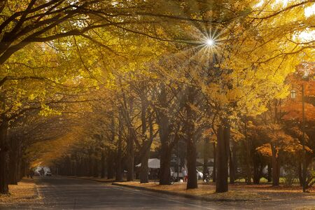 Entrance to Ginkgo Avenue at Hokkaido University in Sapporo during the peak of autumn